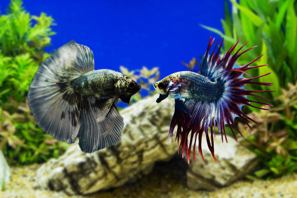 Most Colorful Aquarium Fish - Betta Fish Aquariums NYC