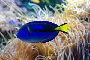 Blue Tang Fish Okeanos Aquascaping