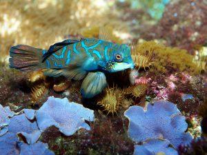 Mandarin Fish Most Colorful Aquarium Fish