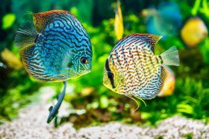 Symphysodon discus aquariums by Okeanos Group