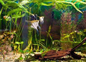 angelfish in a custom aquarium