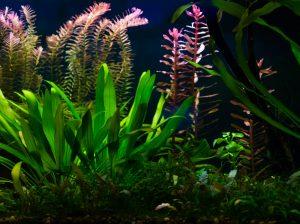 amazon sword plant Echinodorus amazonicus