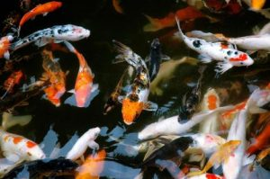 koi fish indoors