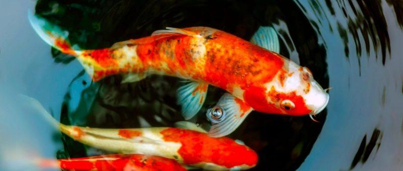 koi fish in New York City