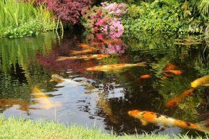 koi pond in New York