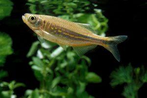 friendly fish danios New York