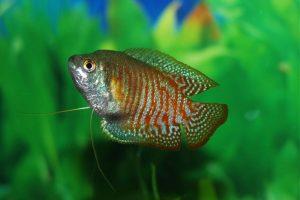 friendly fish gouramis New York