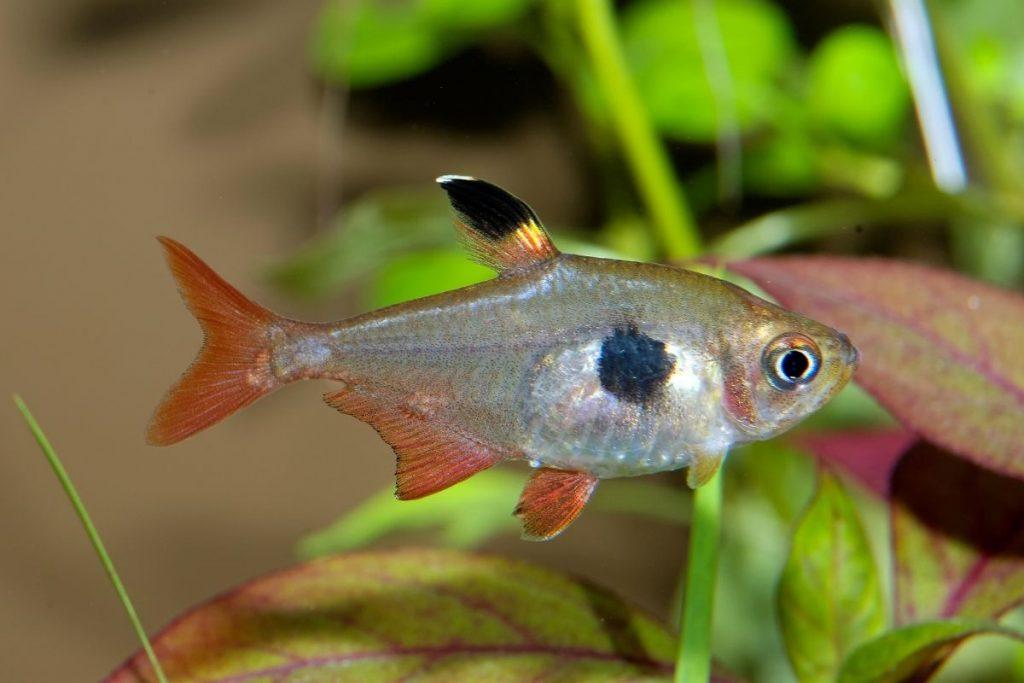 friendly fish tetras New York